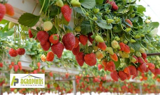 Los cultivos de fresa en invernadero garantizan cultivos de mejor calidad.