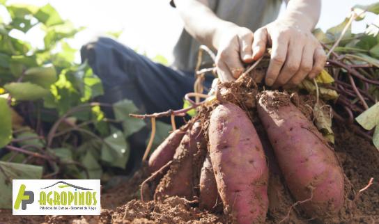 La producción de hortalizas en invernadero brinda muchos beneficios en términos del acortamiento del ciclo.