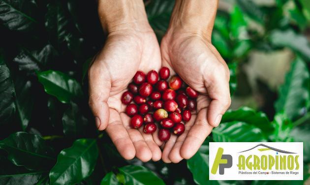 El cambio climático afecta enormemente la producción el café ya que las temperaturas elevadas arruinan las cosechas.