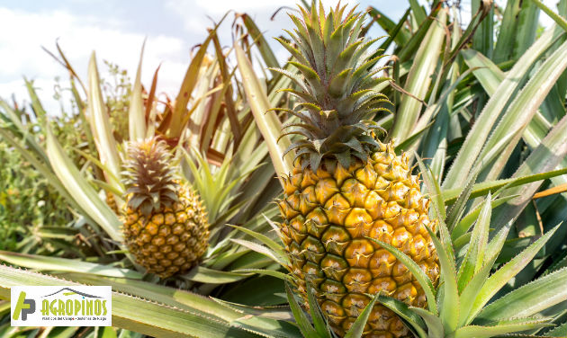 El aumento de exportación de la piña la ha convertido en una gran apuesta para mercados internacionales.