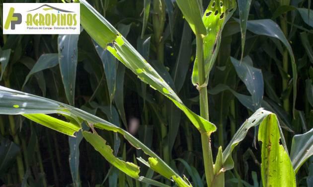 Plagas y enfermedades que pueden afectar su cultivo de maíz