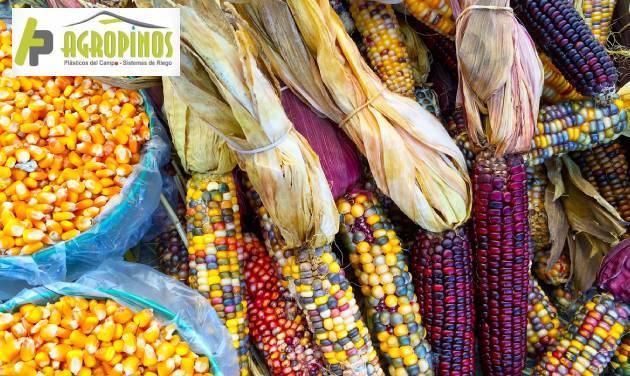 Variedades de maíz en Colombia