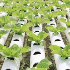 cultivos de tomate en invernadero