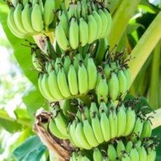 Claves para cultivar un buen banano