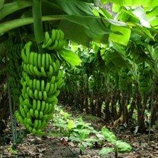 Cultivo-Banano-riego