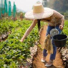 Cultivo de Fresas bajo invernadero