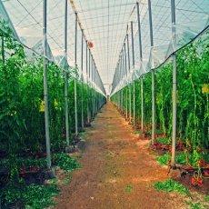 Invasión de plagas en los cultivos de la Sabana de Bogotá
