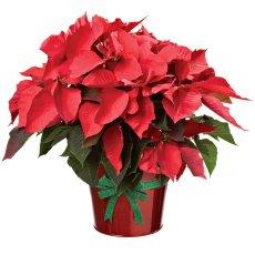 Plantas con tradición para navidad